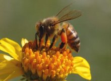 Honey bee collecting bee pollen